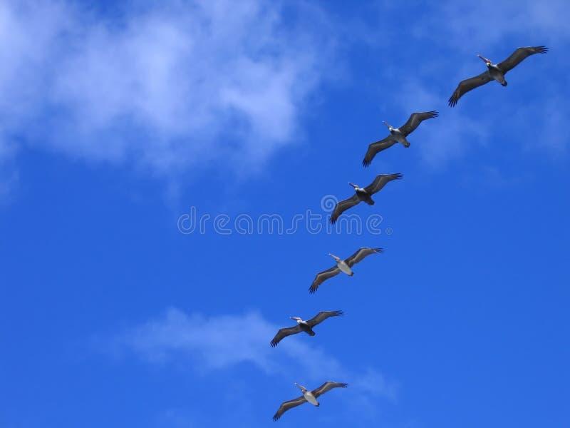 Pellicani durante il volo fotografie stock