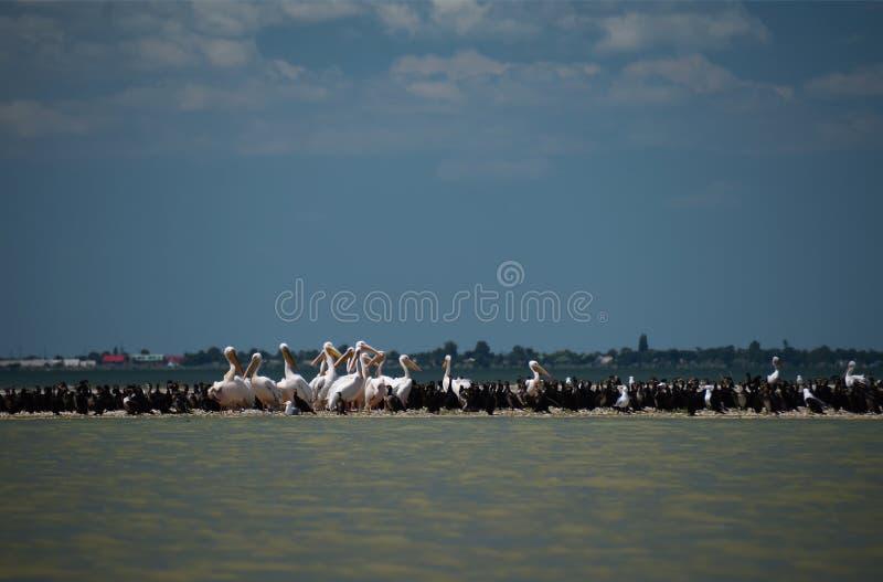 Pellicani e cormorani nella bocca del Danubio, in cui il fiume sfocia nel Mar Nero contro un cielo blu con le nuvole bianche immagine stock