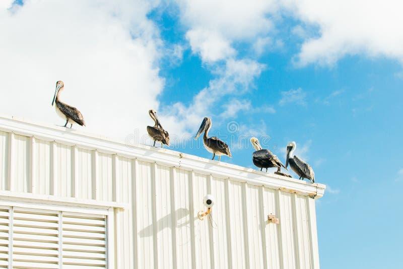 Pellicani enormi sul tetto della costruzione bianca fotografia stock libera da diritti