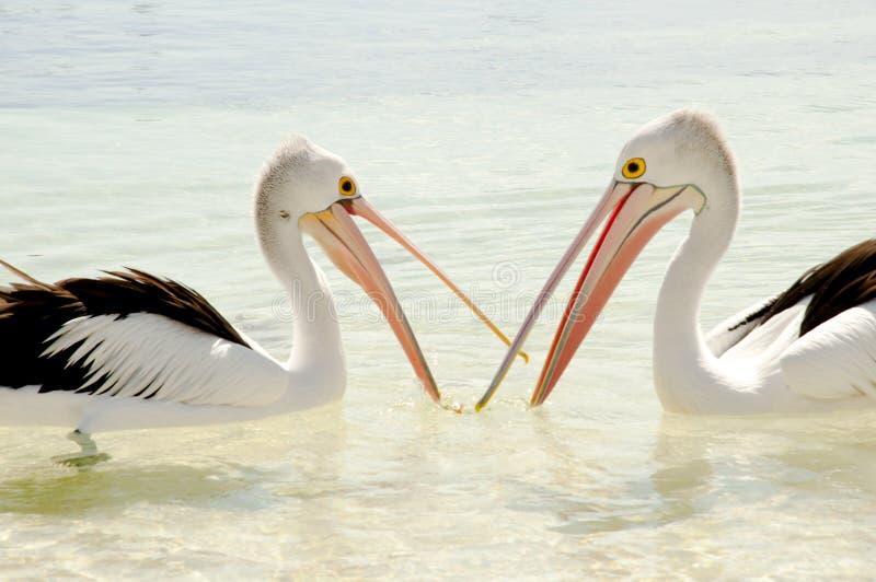 Pellicani - isola di Rottnest - l'Australia immagini stock libere da diritti