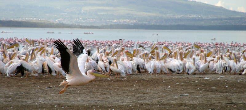 Pellicani nel lago Nakuru immagini stock