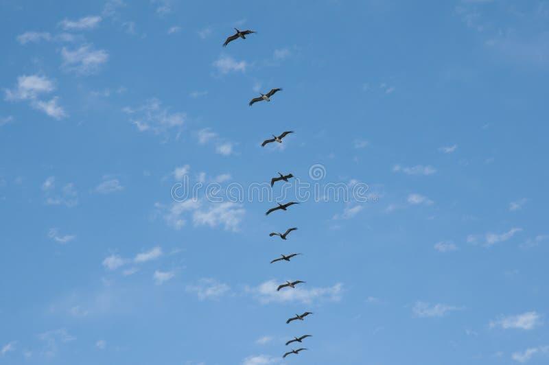 Pellicani nel singolo volo di fila - Vina Del Mar - Cile fotografie stock