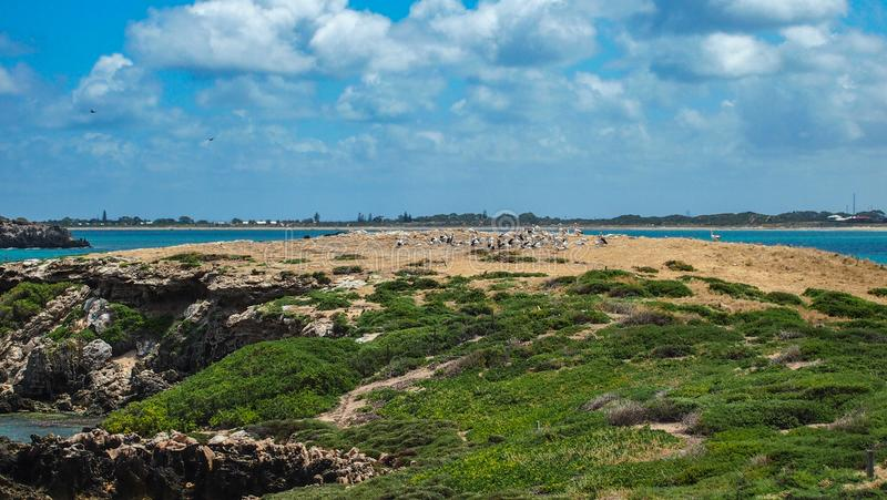 Pellicani in Rockingham, Australia occidentale, Australia immagini stock libere da diritti