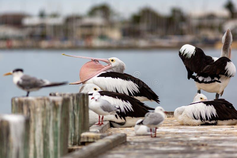 Pellicani sul molo dei tormentatori sull'Australia Meridionale di Goolwa della penisola di Fleurieu il 3 aprile 2019 fotografia stock libera da diritti