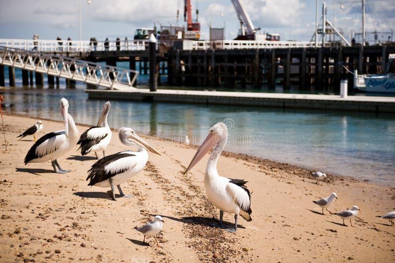Pellicani sull'isola di Phillip in Victoria, Australia fotografia stock