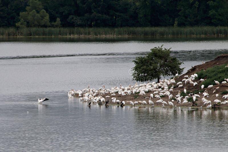 Pellicano, airone e colonia di corvi di Cormorant sull'isola del lago pigeon immagini stock libere da diritti