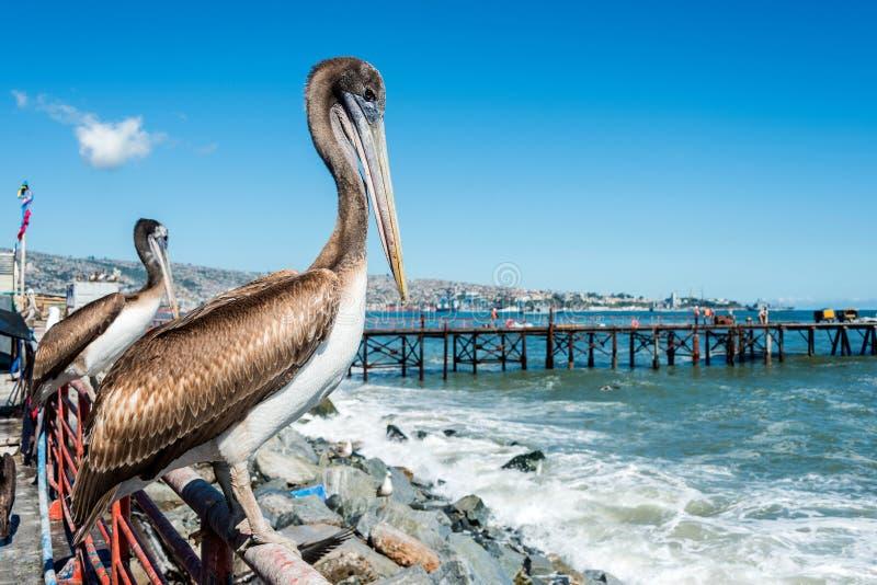 Pellicano al mercato ittico di Valparaiso fotografia stock