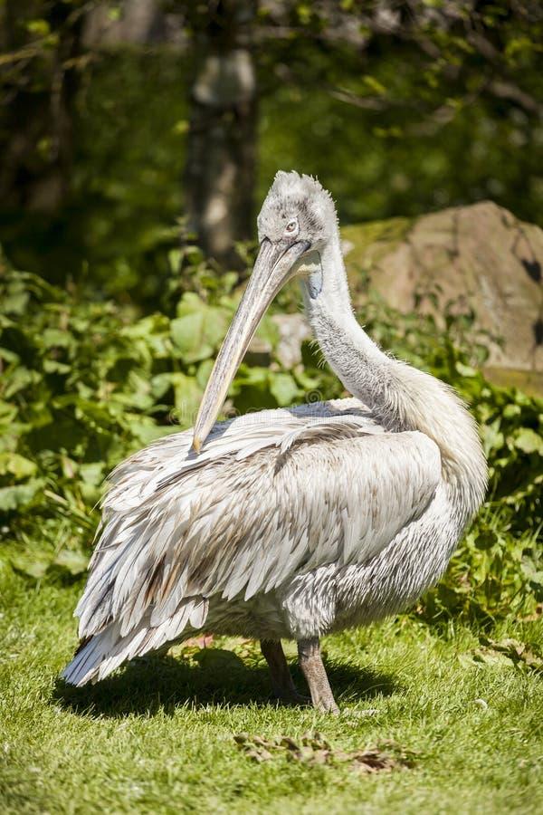 Pellicano allo zoo Staffordshire di Blackbrook fotografie stock