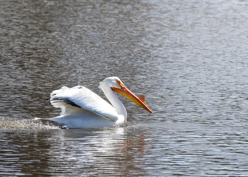 Pellicano bianco nel nuoto di stagione riproduttiva in un lago fotografia stock libera da diritti