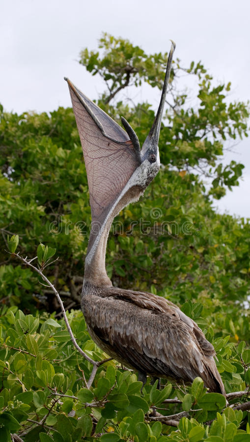 Pellicano che si siede su un albero della mangrovia seabirds Le isole di Galapagos l'ecuador fotografia stock