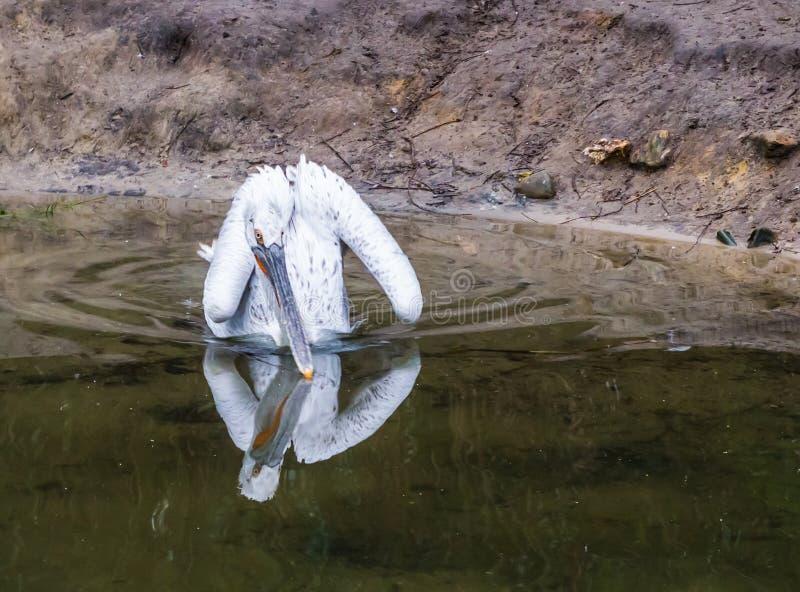 Pellicano dalmata che galleggia nell'acqua, vicino all'uccello minacciato da Europa fotografie stock libere da diritti
