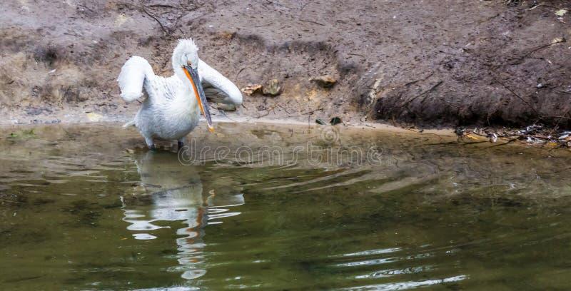 Pellicano dalmata nell'acqua che agita le sue ali, vicino all'uccello minacciato da Europa fotografia stock