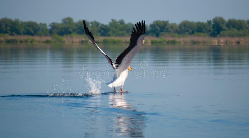 Download Pellicano di atterraggio fotografia stock. Immagine di canale - 30830674