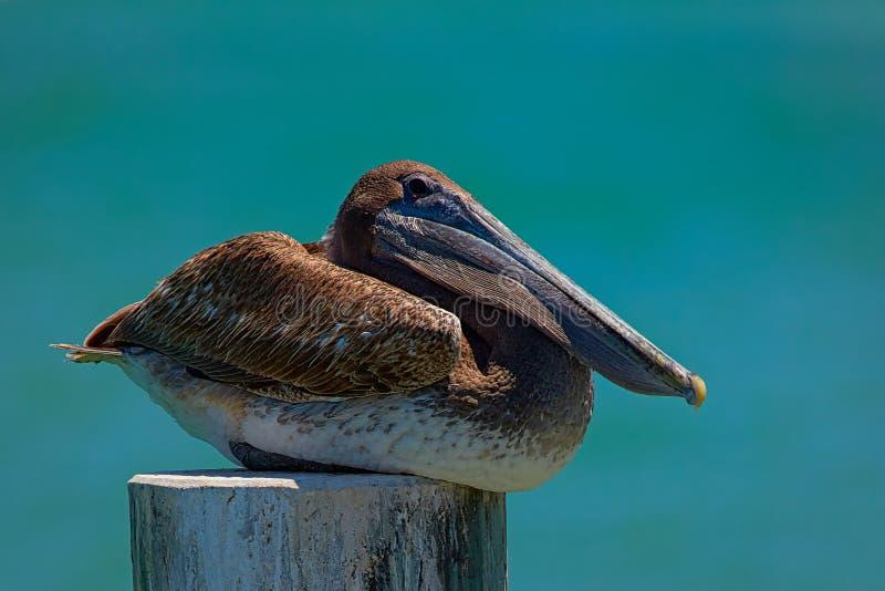 Pellicano di Florida Brown fotografie stock libere da diritti