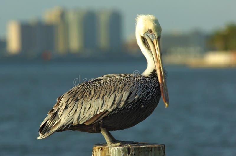 Pellicano in Florida fotografia stock