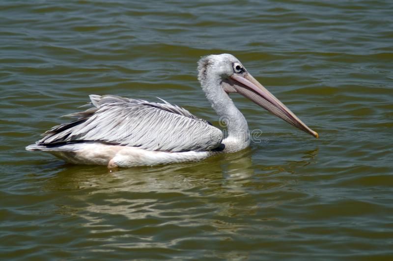 Pellicano grigio nel lago immagine stock libera da diritti