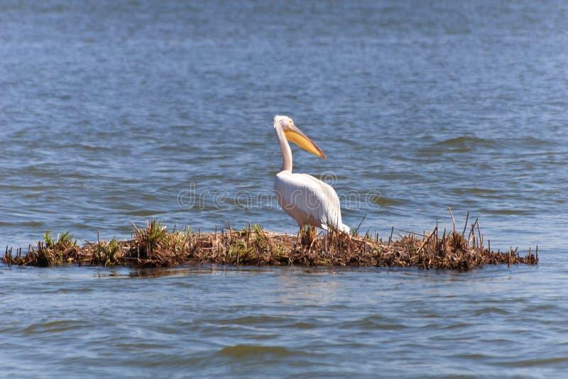 Pellicano nel delta del Danubio immagini stock libere da diritti