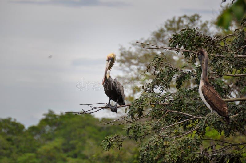 Pellicano, penisola di Nicoya, Costa Rica fotografie stock