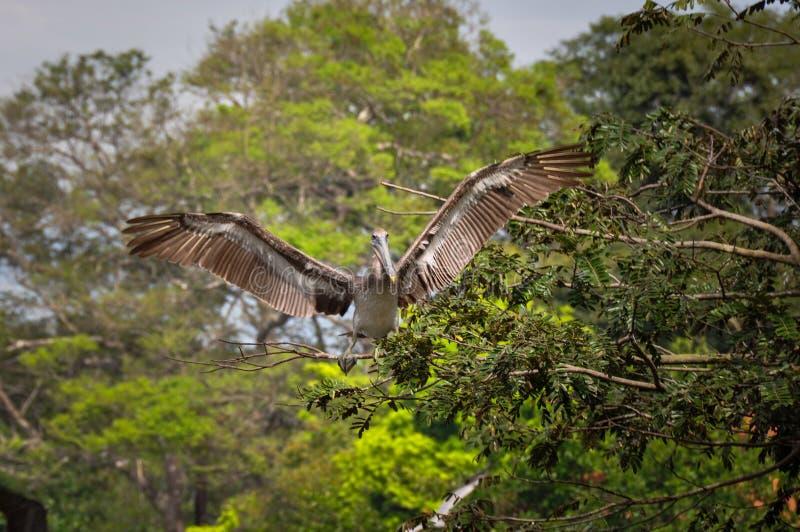 Pellicano, penisola di Nicoya, Costa Rica fotografie stock libere da diritti