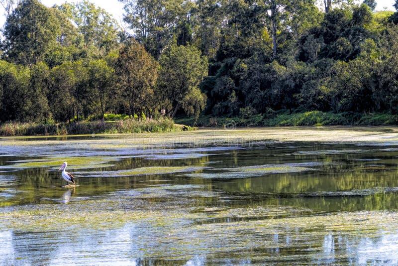 Pellicano solo nel fiume superiore di Brisbane fotografia stock libera da diritti