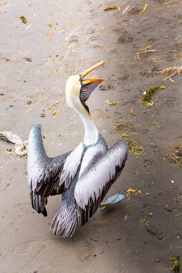 Pellicano sulle isole di Ballestas, Perù Sudamerica nel parco nazionale di Paracas. fotografia stock libera da diritti