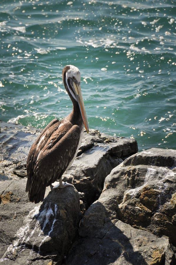 Pellicano in Vina del Mar, Cile fotografia stock