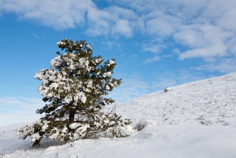 Pelliccia-albero innevato immagini stock libere da diritti
