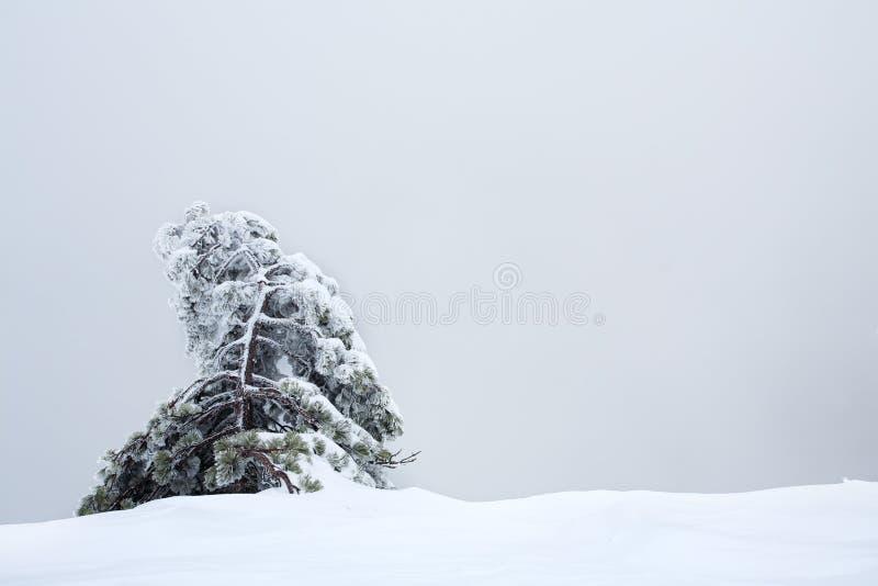 Pelliccia-albero innevato solo contro il cielo grigio fotografia stock libera da diritti