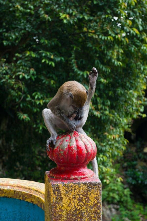 Pelliccia degli organi genitali di pulizia governare della scimmia fotografia stock libera da diritti