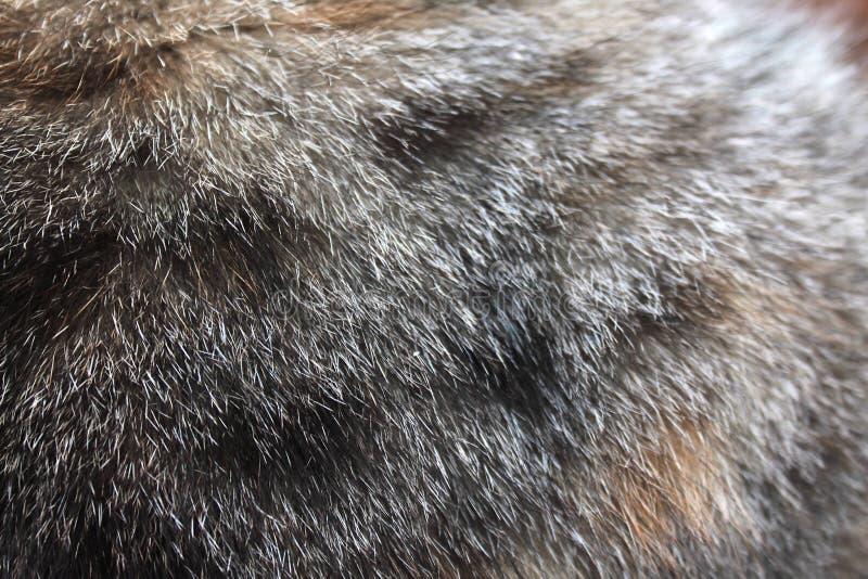 Pelliccia del gatto di struttura grigia con i punti neri fotografie stock