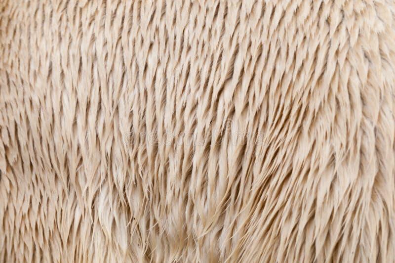 Pelliccia dell'orso polare (maritimus del Ursus) fotografie stock libere da diritti