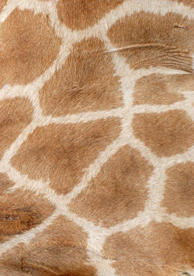 Pelliccia della giraffa fotografia stock