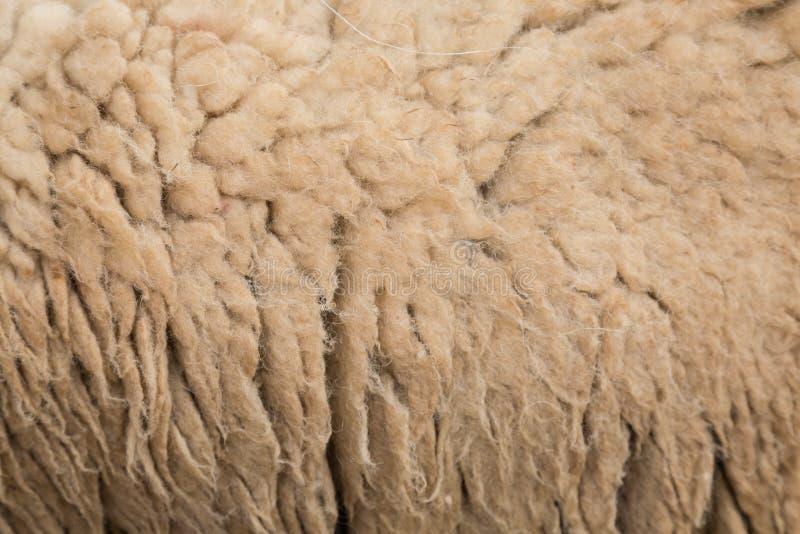 Pelliccia delle pecore immagine stock
