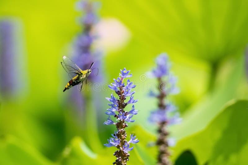 Pellucid fluga för hökmal som blommar royaltyfria foton