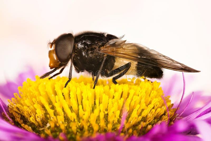 Pellucid fluga, Pellucid Hoverflies, stort pied-hoverfly, Volucella pellucens royaltyfri bild