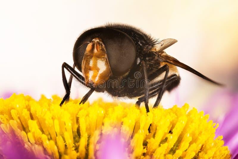 Pellucid fluga, Pellucid Hoverflies, stort pied-hoverfly, Volucella pellucens royaltyfria foton