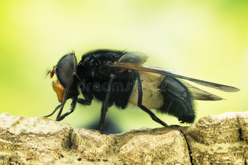 Pellucid fluga, Pellucid Hoverfly, Volucea pellucens royaltyfri foto