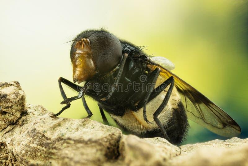 Pellucid fluga, Pellucid Hoverfly, Volucea pellucens arkivbilder