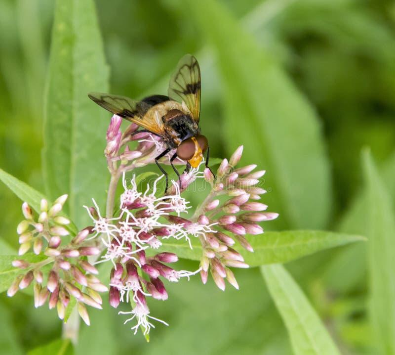 Pellucid fluga på blomman arkivfoton
