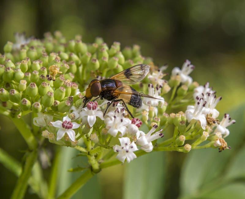Pellucid fluga på blomman royaltyfria foton