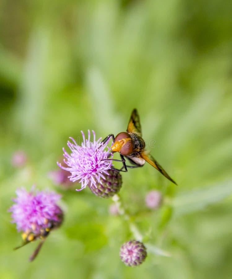 Pellucid fluga på blomman royaltyfri foto