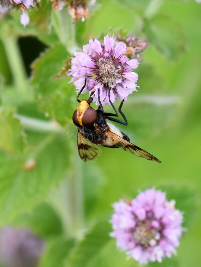 Pellucid hoverfly på blomman royaltyfri bild