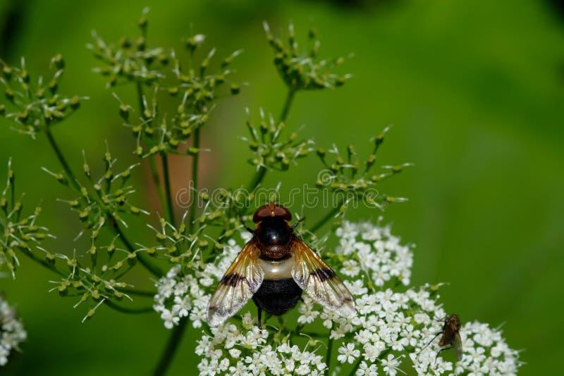 Pellucid hoverfly på en vit blomma royaltyfri foto