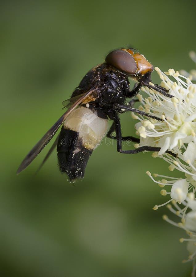 Pellucid Hoverfly som matar på den vita blomman royaltyfria bilder