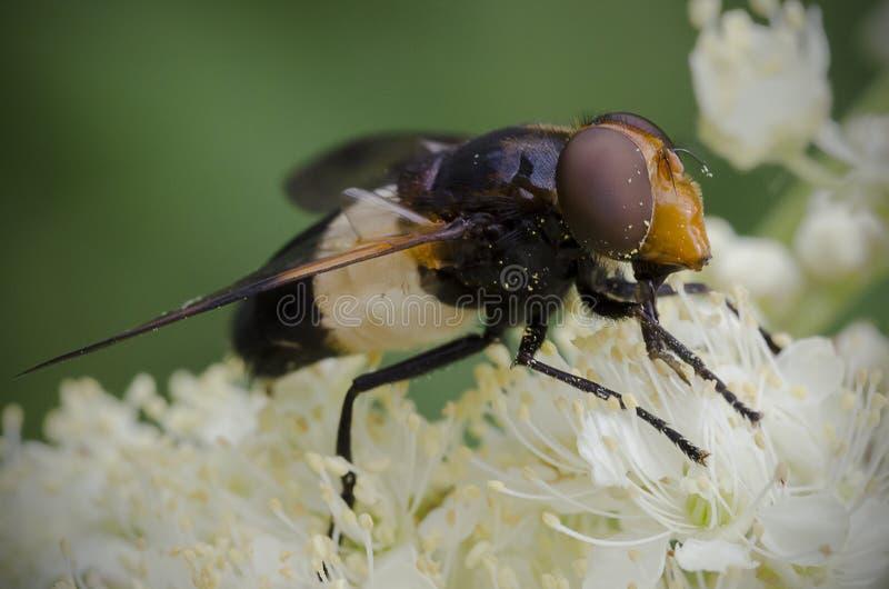 Pellucid Hoverfly som matar på den vita blomman arkivbild