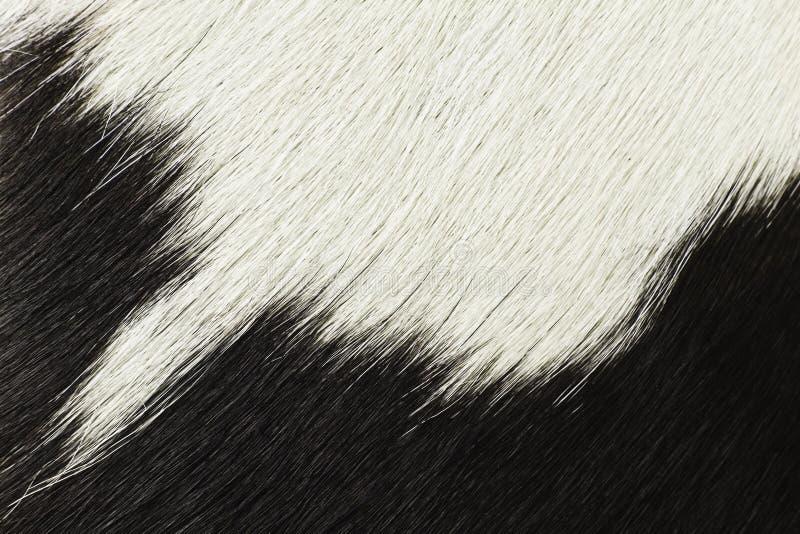 Pelo blanco y negro de la vaca imagen de archivo libre de regalías