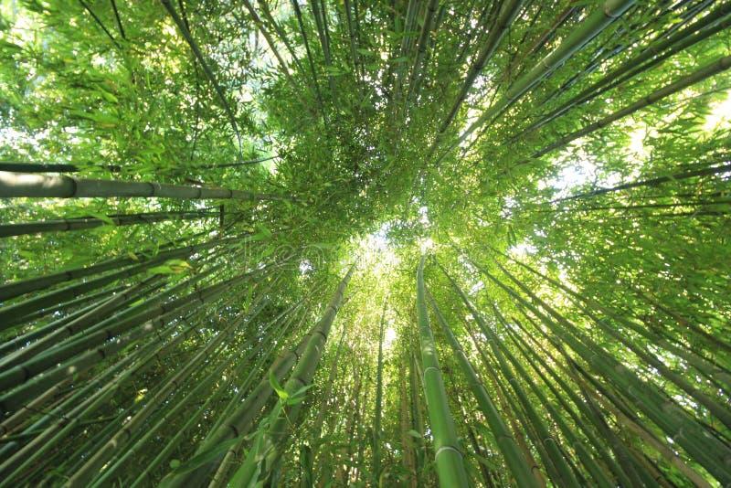 Pelo fra i bambù immagini stock