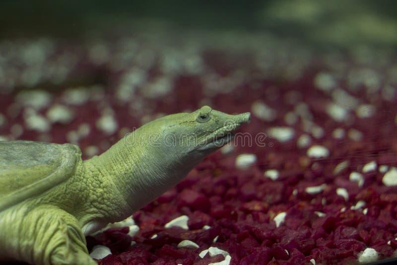 Pelodiscussinensis Verre witte schildpad Schildpad in een aquarium Schildpad met s stock foto