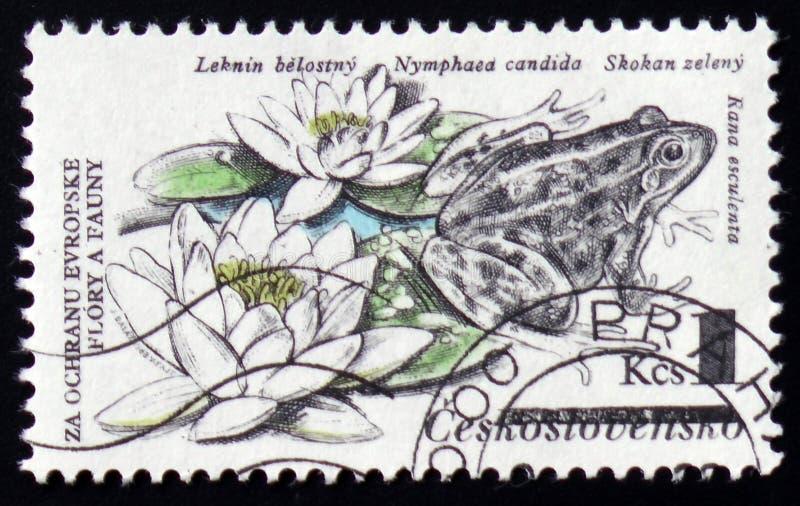 Pelophylax commestibile chilolitro esculentus, precedentemente Rana esculenta, ninfea, candida della nymphaea, circa 1983 immagine stock