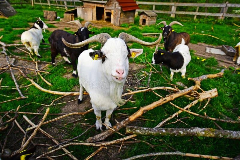 Pelotão horned longo da cabra fotografia de stock